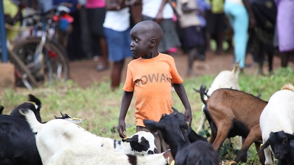 Young child surrounded by goats