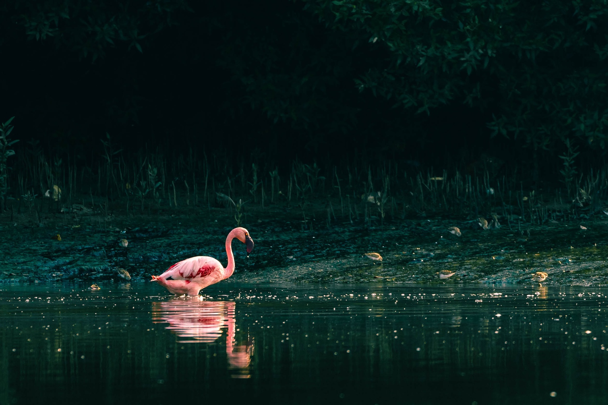 Lone flamingo in the water