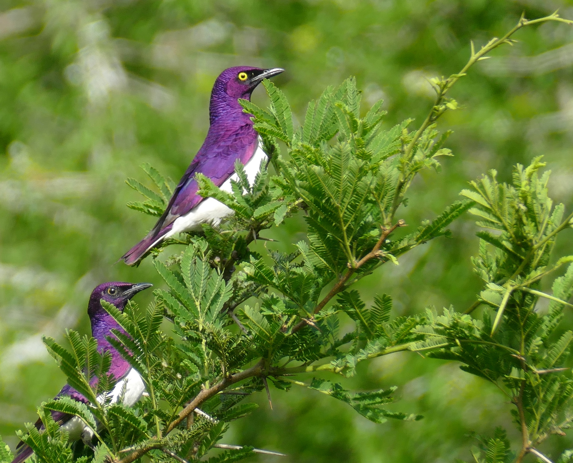 Two purple birds in the branches of a tree