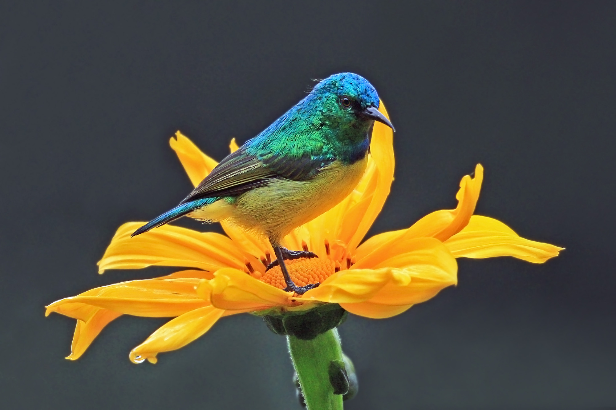 Bright blue bird on a yellow flower