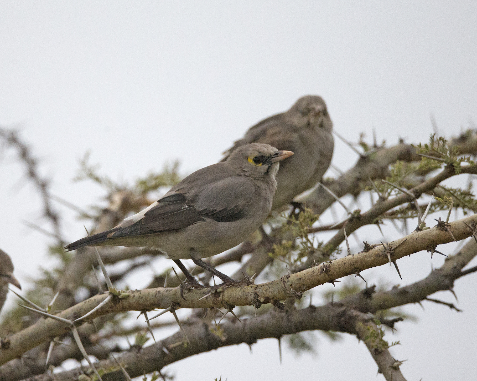 Two grey birds in a tree
