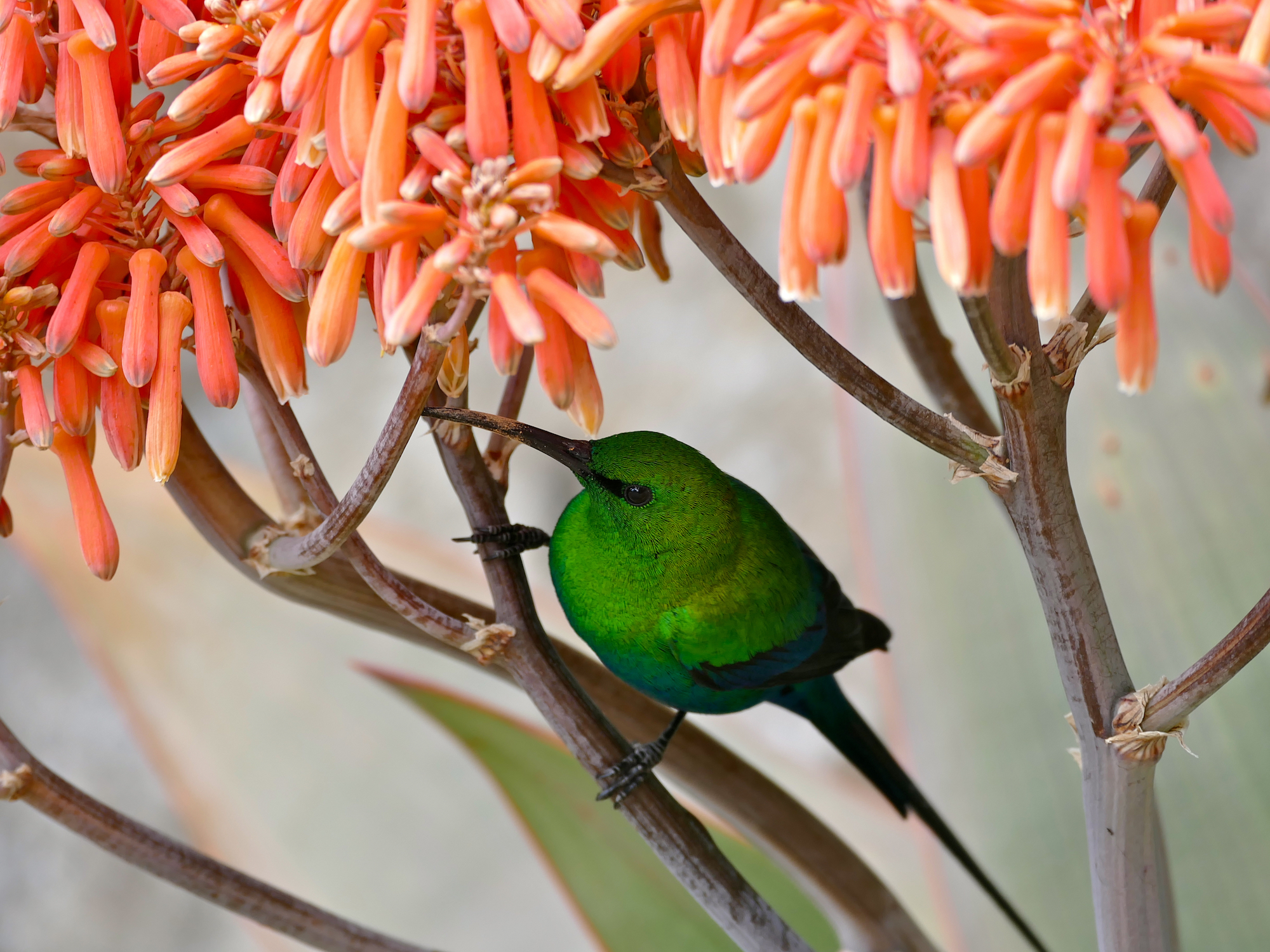 Bright green bird in a plant with orange flowers