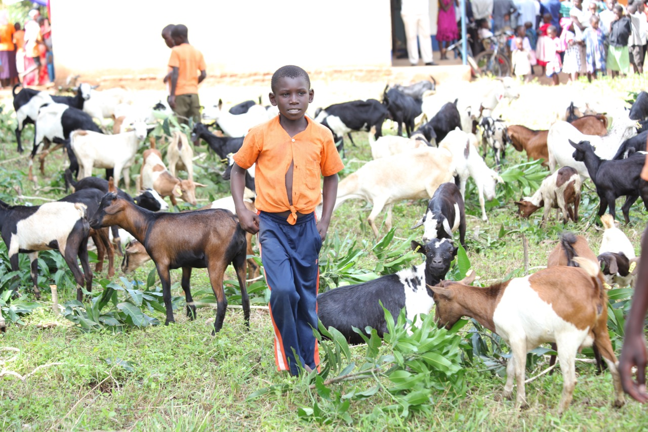 Boy walking through a herd of goats